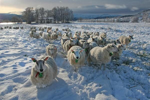 Andreja Ravnak - Happy Sheep