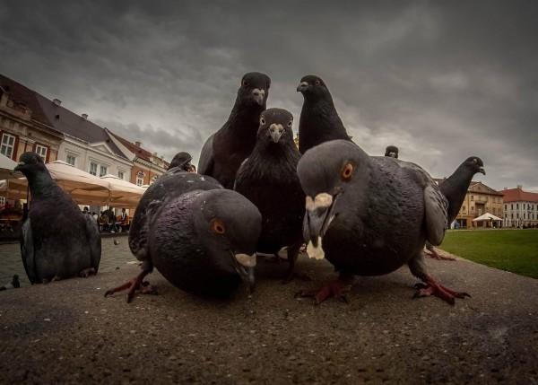Facebook/Golubovi na Gornjem gradu i Trgu