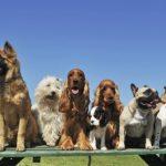 psi pas ljubimac