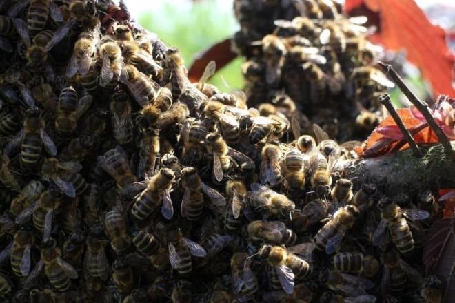 roj pčela pčele