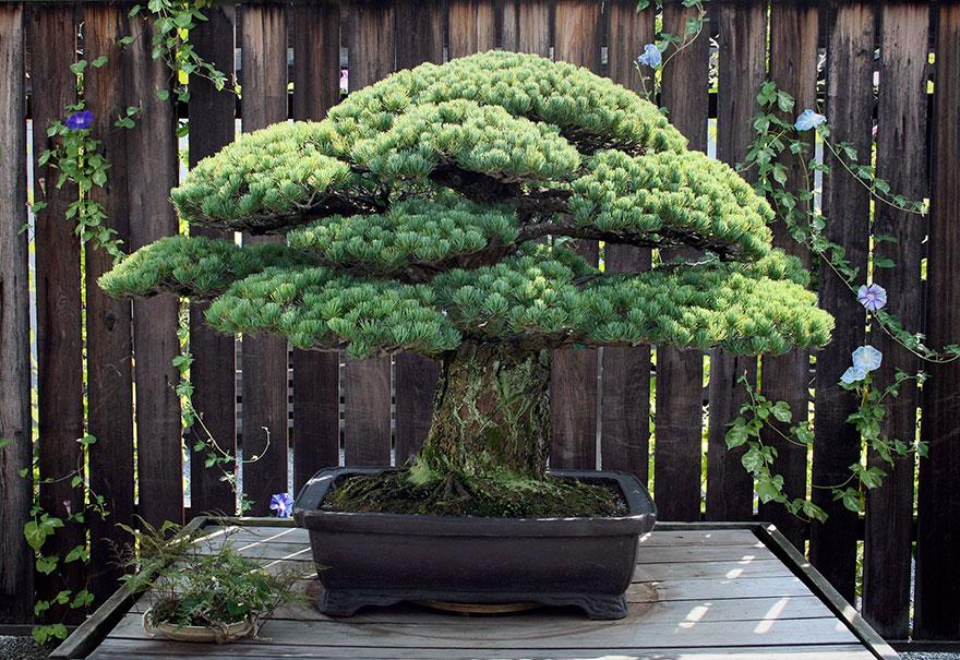 hiroshima-bonsai-tree-2