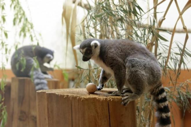 17.04.2017., Zagreb - Djelatnici Zooloskog vrta pisanicama razveselili lemure. Photo: Luka Stanzl/PIXSELL